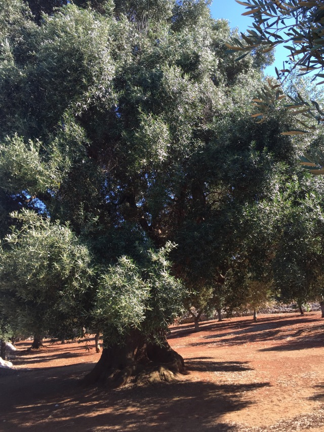 Olive trees everywhere in Puglia!
